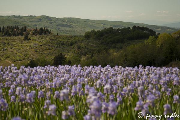 Irises on the road to Lamole,. @PennySadler 2013